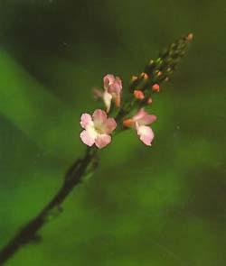 Osvaldo Espínola, Terapeuta floral